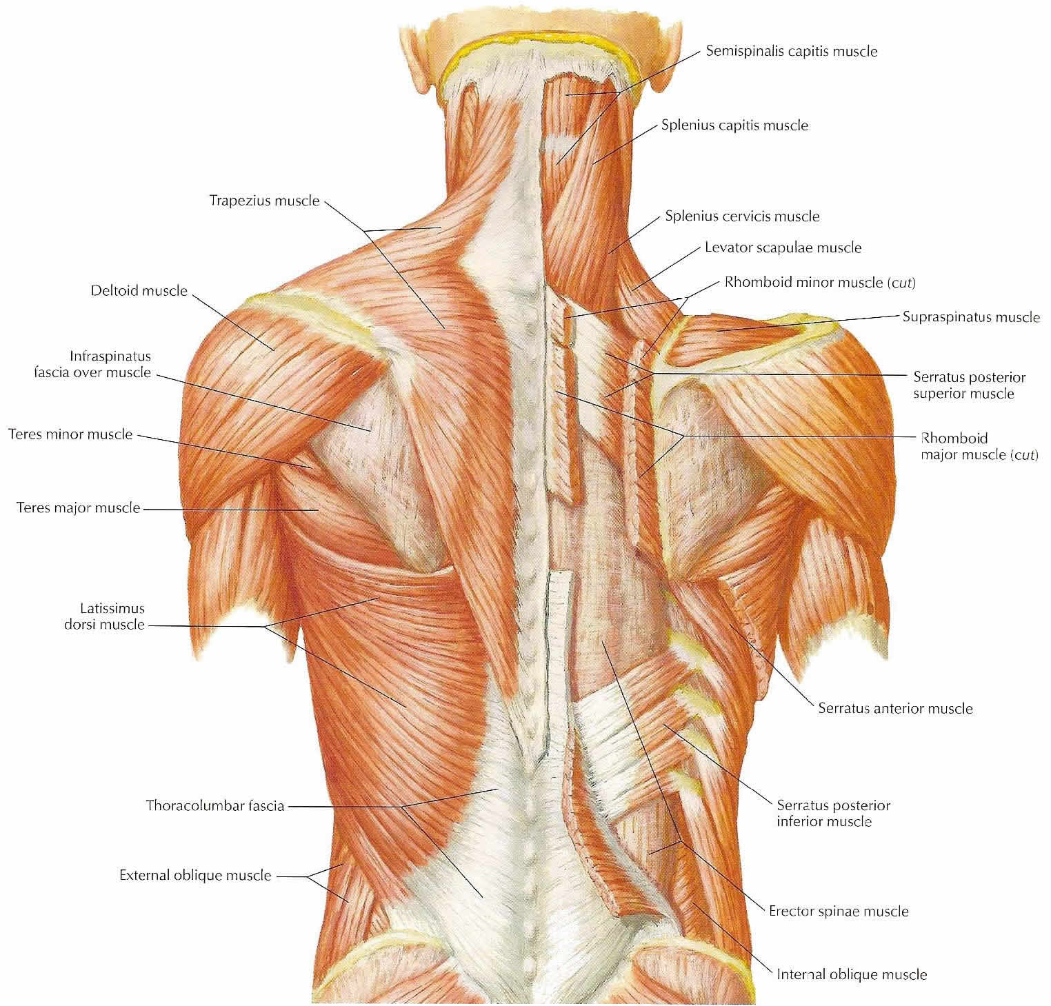 Muscle Exercise Neck Muscle Exercise